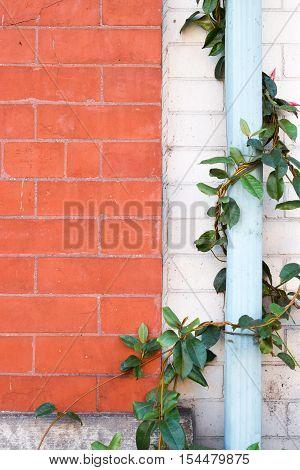 Leafy Green Vine Around Blue Gutter with Bright Brick Wall