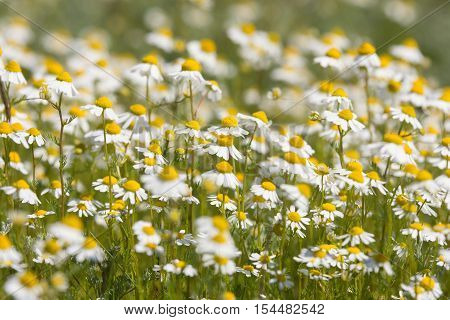 the thickets of chamomile on a meadow