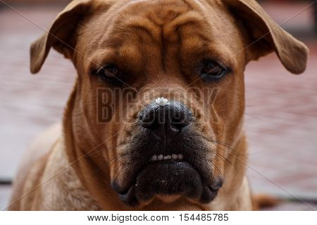 Cute purebred dog muzzle with pieces of food on the nose after meal