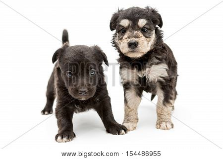 Two small serious puppy pooch isolated on a white background