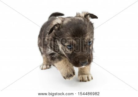 Sad mongrel puppy brown isolated on white