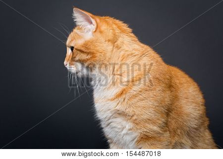 Big beautiful red cat on a black background side view