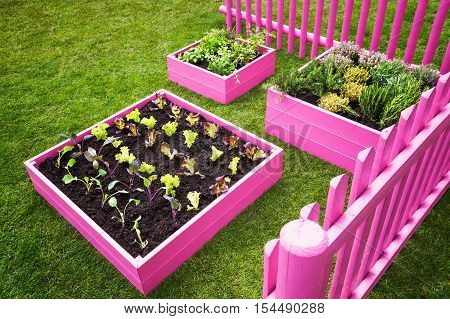 Small herb garden. Pink raised beds with herbs and vegetables. Trendy garden design