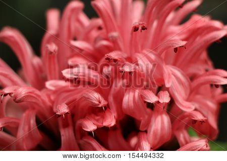 Beautifulbrazilian Blume Flowers In Nature