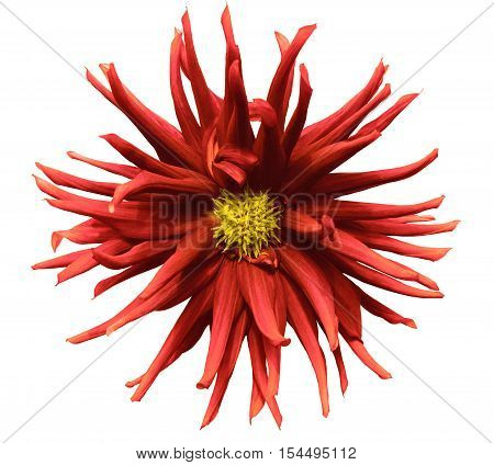 red flower on a white background isolated with clipping path. Closeup. big shaggy autumn flower. Dahlia.