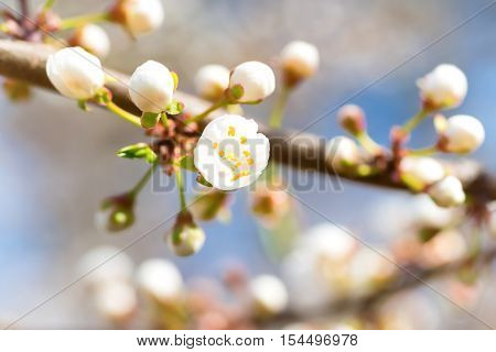 Spring Blossoming White Spring Flowers