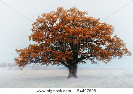 Old very beautiful yellow oak tree in white haze. Leafs in orange and yellow autumn colors