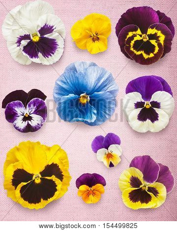 Pansy spring flowers. Viola tricolor heads collection on pink canvas background. Mothers day concept