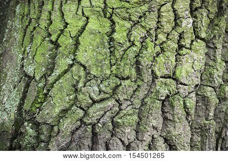 Old Tree Bark With Green Lichen