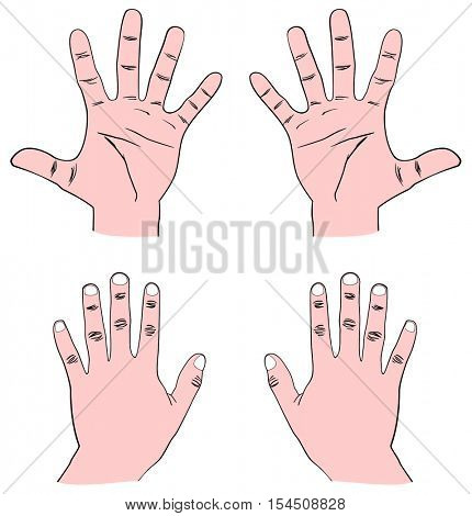 Pair of Human Hands (Palm) - Front & Back view with all fingers: Thumb, Index, Middle, Ring, and Baby (Pinky) also showing Distal, Middle, and Proximal Phalanx