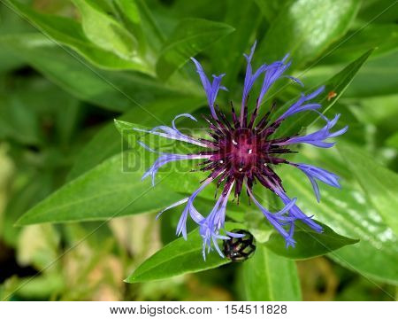 Beautiful blue-red Centaurea. Green leaves and black bud on the backround.
