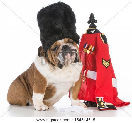 bulldog dressed like a royal british guardsman on white background