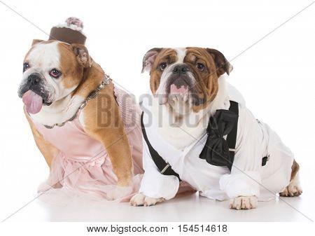 male and female dog couple wearing clothing on white background