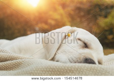 young cute puppy sleeping on a meadow by sunset - labrador retriever dog