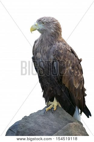 Steppe eagle (aquila rapax) is sitting on stone on white background