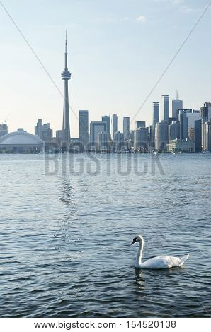 White swan in the lake in front of Toronto downtown view