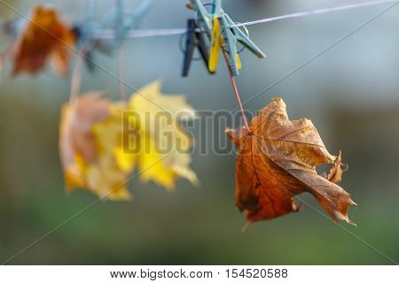 Yellow maple leaves hanging on a clothesline.