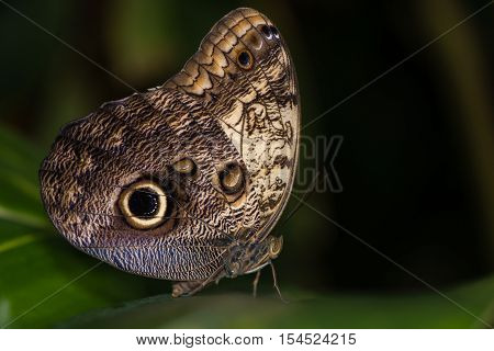 Giant owl butterfly (Caligo memnon). Enormous Central and Southern American butterfly in the family Nymphalidae showing underside with eye marking