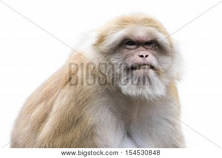 Image of a brown rhesus monkeys on white background.