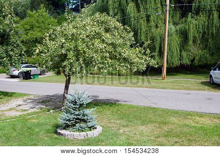 HARBOR SPRINGS, MICHIGAN / UNITED STATES - AUGUST 2, 2016: A small Colorado blue spruce tree (Picea pungens) and an apple tree (Malus pumila) stand together in the front yard of a home in Harbor Springs.