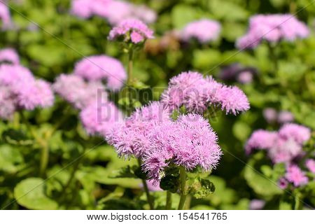 Beautiful Floss Flower flowers in nature background