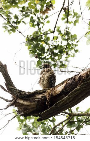 Brown And White Hawk Sitting On Tree Branch