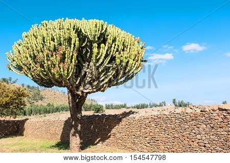 Ethiopia Axum an euphorbia tree between the ruins of the baths of the Queen of Saba poster