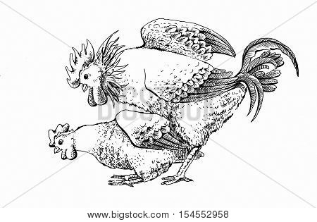 Hard mating of a rooster and hen. Vintage design handmade illustration with two person. Hand drawn brood-hen and cock isolated on white background. Illustration for your design.