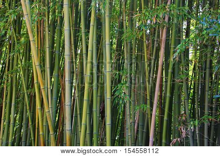 many tall trunks of bamboo, green and slightly dried up grow together, forming a grove of trees, a living wall, fence