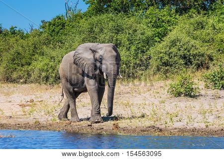 African elephant -  loner on a watering place in the Okavango Delta. Chobe National Park in Botswana.   The concept of exotic tourism