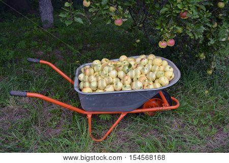 whellbarrow full of autumn apples in garden