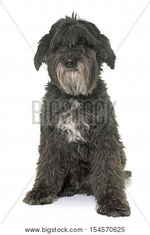 old pyrenean shepherd in front of white background