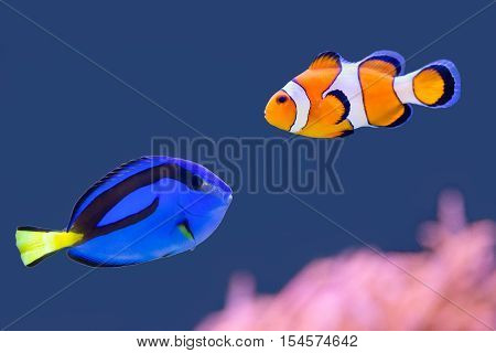 Palette surgeonfish and clown fish swimming together in blue water