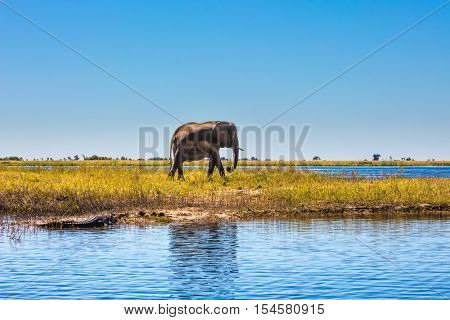 Fascinating journey to Africa. Watering large animals in the Okavango Delta. Elephant. Chobe National Park in Botswana