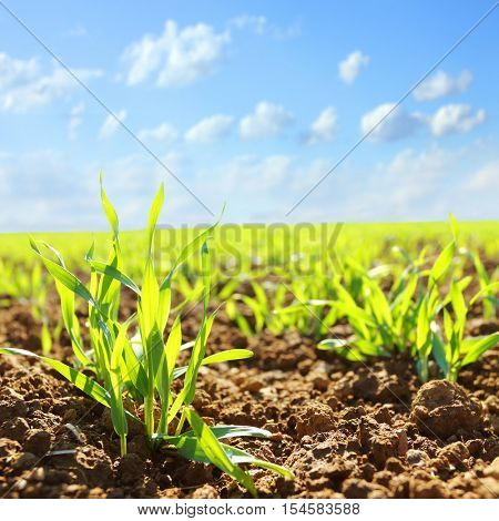 Young wheat seedlings growing in a soil. Agriculture and agronomy theme. Organic food produce on field. Natural background.