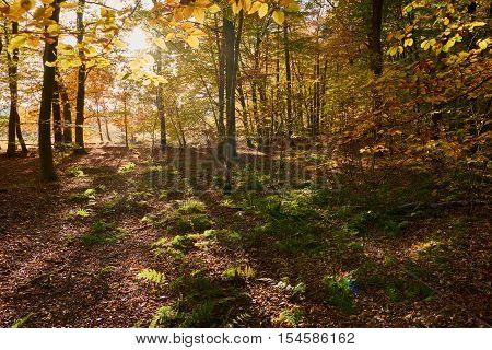 Light flooded autumn forrest near Haltern in NorthrheinWestphalia in Germany