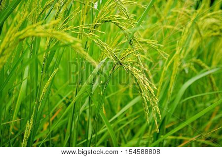 Fresh green rice plant on rice field shallow depth of field Thailand