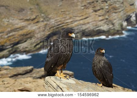 Pair of Striated Caracara (Phalcoboenus australis) standing a rocky cliff on West Point Island in the Falkland Islands.