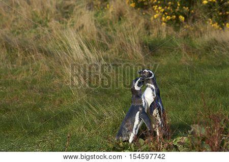Pair of Magellanic Penguin (Spheniscus magellanicus) courting on Carcass Island in the Falkland Islands.
