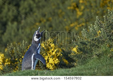 Magellanic Penguin (Spheniscus magellanicus) calling as it stands amongst spring flowering gorse bushes on Carcass Island in the Falkland Islands.