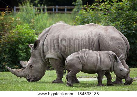 Southern white rhinoceros (Ceratotherium simum simum). Female rhino with its newborn baby. Wildlife animal.