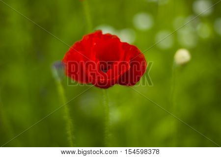 Red poppy flower in field with green blurred background