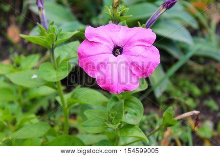 Pink petunia flower growing in the garden