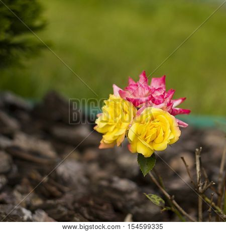 Small pink and yellow bush roses flowers. Multicolor roses flowers in garden