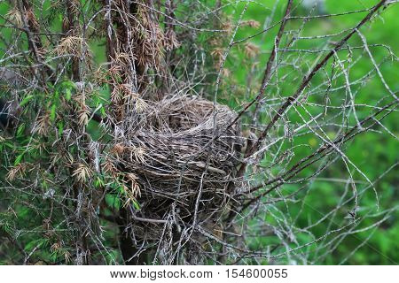 retinue of grass and small twigs of the tree nest tiny birds and eggs in it