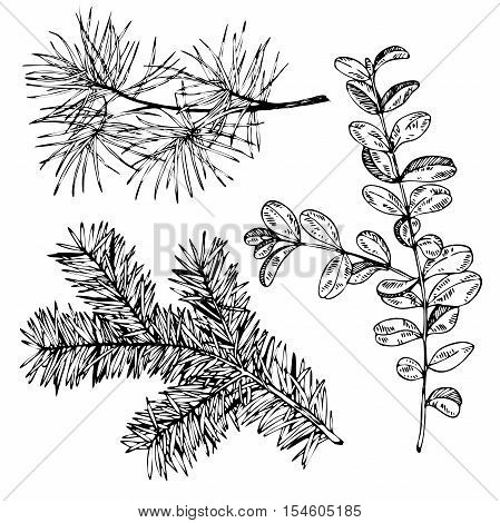VEctor hand drawn fir pine and boxwood branches. Vintage engraved botanical illustration. Christmas decoration. Monocrome illustration. Use for Xmas holiday decorating.