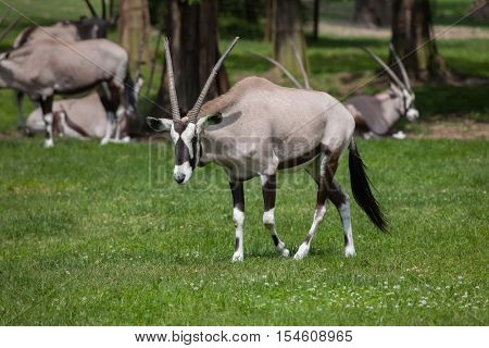 Gemsbok (Oryx gazella gazella), also known as the Southern oryx. Wildlife animal.
