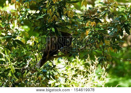 A Howler monkey sitting in the trees, Costa Rica