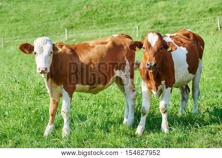 brown cow calf on green pasture