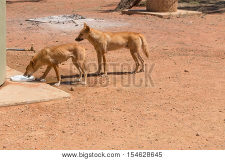 Two healthy dingos, male and female at camp ground in Northern Territory